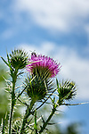 Thistle in the Bussey Brook Meadow of the Arnold Arboretum in the Jamaica Plain neighborhood, Boston, Massachusetts, USA