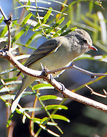 Gray flycatcher. This western bird decided to spend its winter in south Texas rather than Mexico. Was identified during the Christmas bird count and remains (January 2011) in the Bentsen SP.