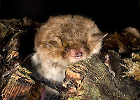 Natterer's Bat Myotis nattereri Wingspan 25-30cm Medium-sized bat with rather large ears and long tragus. Adult has medium-length fluffy fur, yellowish brown above and greyish white below. Face is reddish, almost bald and rather dog-like. Wings are broad. Echolocates in 35-80 kHz range. Widespread. Favours woodland margins, hedgerows and parkland with mature trees. Emerges from roost an hour after sunset and feeds throughout night. Wingbeats are rather slow; hovers occasionally. Roosts in tree holes, buildings and under bridges in summer, hibernates in canal tunnels and mines.