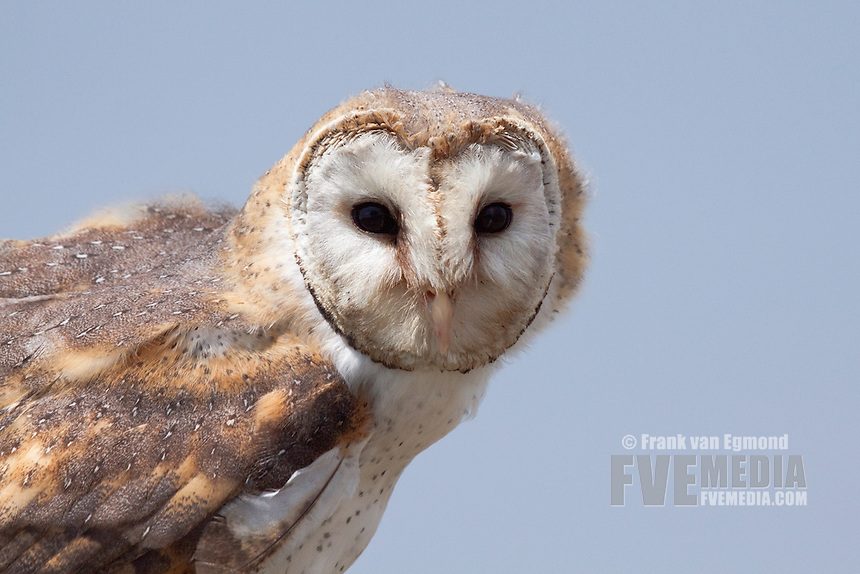Barn Owl (Tyto alba)..Shot under controlled conditions..October 2010..African Bird of Prey Sanctuary..Kwazulu-Natal, South Africa.
