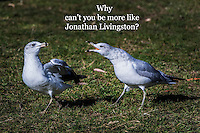 "Ring-billed gulls in confrontation with added text, ""Why can't you be more like Jonathan Livingston?""  A reference to the early 1970s best seller, ""Jonathan Livingston Seagull""."