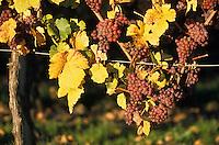 Europe/France/Alsace/67/Bas-Rhin/Cléebourg: Le vignoble - Détail de grappes de raisins sur pied de vigne pour vendanges tardives