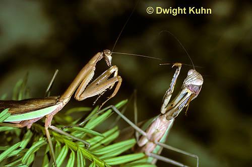 1M33-022z  Praying Mantis female and male preparing to fight - Tenodera aridifolia sinenesis            © Dwight Kuhn