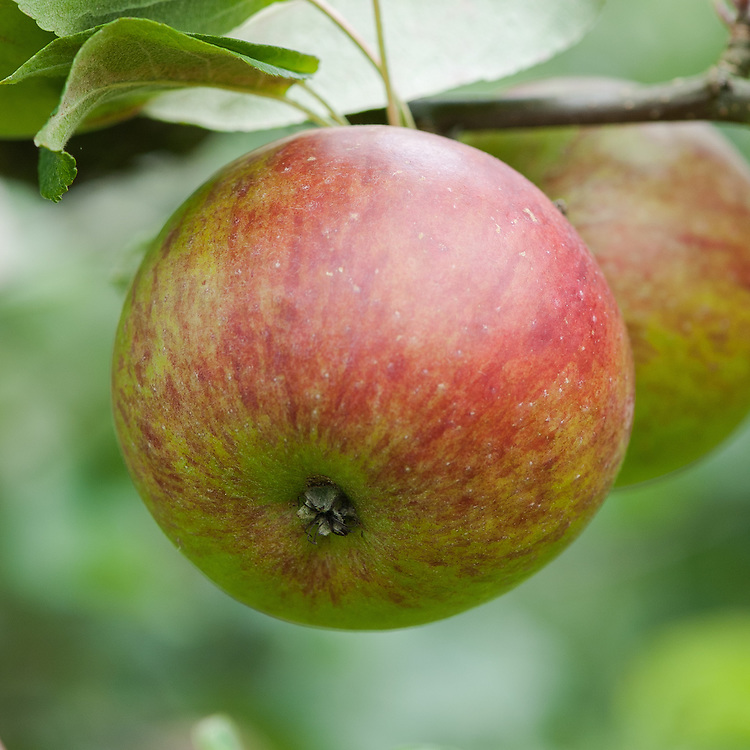 Apple 'Chorister Boy', mid September. An English dessert apple discovered in a garden in Wiltshire in the late 19th century.