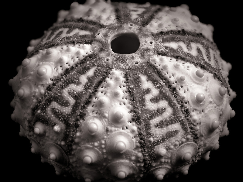 Close up of Sea Urchin shell.