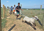 Robel Haile (right), a 13-year old resettled refugee from Ethiopia, leads a group of youth learning how to show sheep and goats in Linville, Virginia, on July 17, 2017. The youth are preparing to show their animals in a county fair. <br /> <br /> Haile and other refugees were resettled in the Harrisonburg, Virginia, area by Church World Service. <br /> <br /> Photo by Paul Jeffrey for Church World Service.
