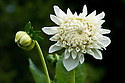 Dahlia 'Stevan's White', early September.