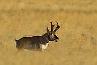 Pronghorn (Antilocapra americana) buck running--he has been chasing one of his harem's does for some distance and is starting to tire.