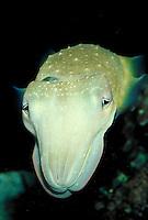 portrait of a cuttlefish. Waikiki Hawaii, Aquarium.