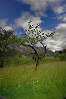 Tree against blue background, Imst district, Tyrol/Tirol, Austria, Alps.