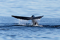 Blue Whale (Balaenoptera musculus) fluke-up dive in the middle Gulf of California (Sea of Cortez) , Mexico, Pacific Ocean