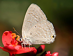 Blue Butterfly, Forget-me-not, Catochrysops strabo , on red flower, Corbett National Park, Uttarakhand, Northern India, .India....