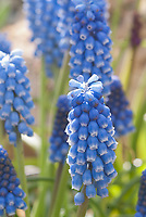 Blue Grape Hyacinth Muscari aucheri, closeup of little spring flowering bulb