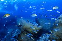 bluefin trevally, Caranx melampygus, bluefin jack, bluefin kingfish, bluefinned crevalle, blue ulua, omilu, spotted trevally, mackerel, Elephant Head, Mu Ko Similan Nationalpark, Similan Islands, Andaman Sea, Indian Ocean, Thailand