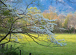 Great Smoky Mountains National Park, TN/NC: Blossoming dogwood tree frames sunlit pastures in Cades Cove in early spring
