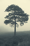 Tree in mist at dawn, New Forest, Hampshire, UK