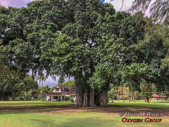 Banyon Tree, Waimea Plantation Cottages