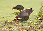 Common Gallinules (Gallinula chloropus), adult feeding downy chick, Montezuma National Wildlife Refuge, New York, USA