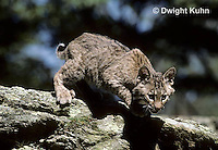 MA15-012x  Bobcat - Felis rufus