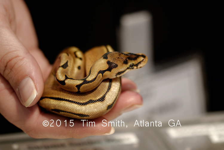 Spider 'morph' Ball Python at the International Reptile Breeders Expo in Daytona Beach, Florida.  This little snake represents concerted efforts by more than one breeder in a rapidly growing industry that spans borders and continents.