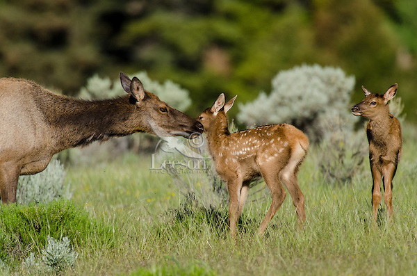 Young Rocky Mountain Elk (Cervus canadensis nelsoni)--cow with young elk calves.  Northern Rockies, June.