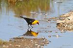 BLACKBIRD;  yellow-headed blackbird