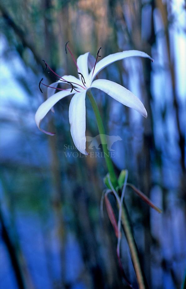 Moeraslelie (Crinum americanum)