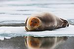 Norway, Svalbard, young bearded seal (Erignathus barbatus) lying on ice floe