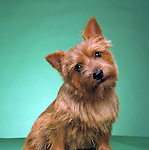 Norwich Terrier<br />
