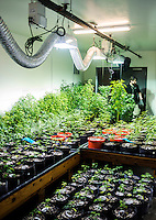 The Denver Relief grow house in Denver, Colorado, Tuesday, March 5, 2013. With Colorado's Amendment 64, the state has been working to decide how it will transition to legalized marijuana in the state...Photo by Matt Nager