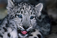 654409005 portrait of a two month old snow leopard panthera uncia - individual is a wildlife rescue - species is native to the high steppes of central asia