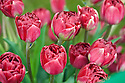 Tulip 'Uncle Tom' (Double Late Group), mid May. Raised in 1939 by Zocher & Co.