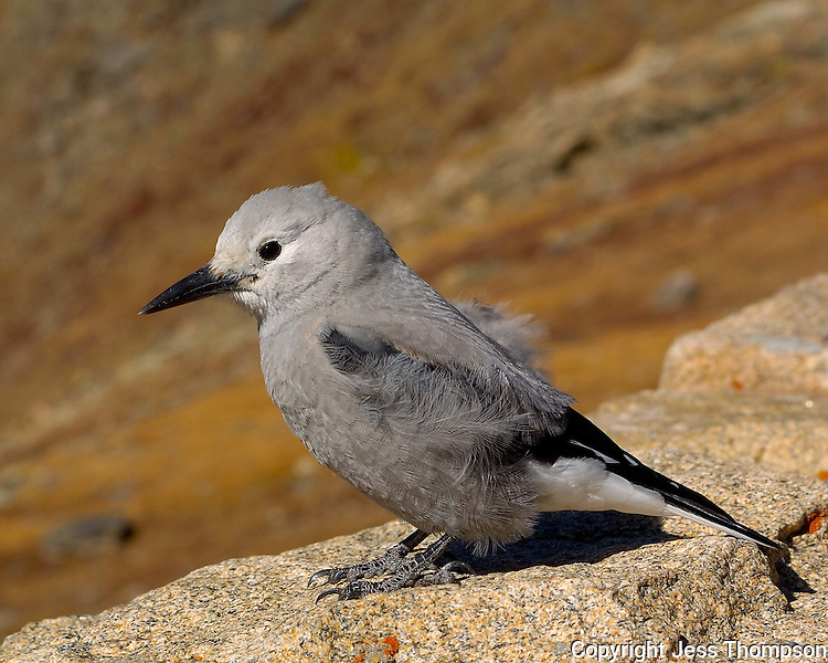 Clark's Nutcracker, Rocky Mountain National Park, Colorado