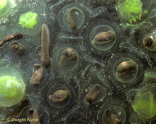 SL06-052b   Salamander - spotted salamander eggs develpong in pond - Ambystoma maculatum