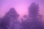 Fog at sunset envelops pine trees, Berkeley Hills, California