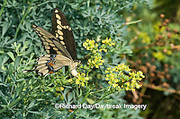 03017-008.07 Giant Swallowtail (Papilio cresphontes) female laying eggs on Common Rue (Ruta graveolens) Marion Co.  IL