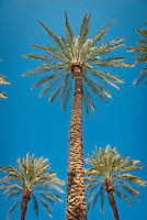 Palm trees, Arecaceae, Palmae, Palmaceae, palm tree, palm family, Arecales. Desert Fan Palm, American Cotton palm, Arizona Fan Palm, or California Fan Palm is a palm native to Southern Ca