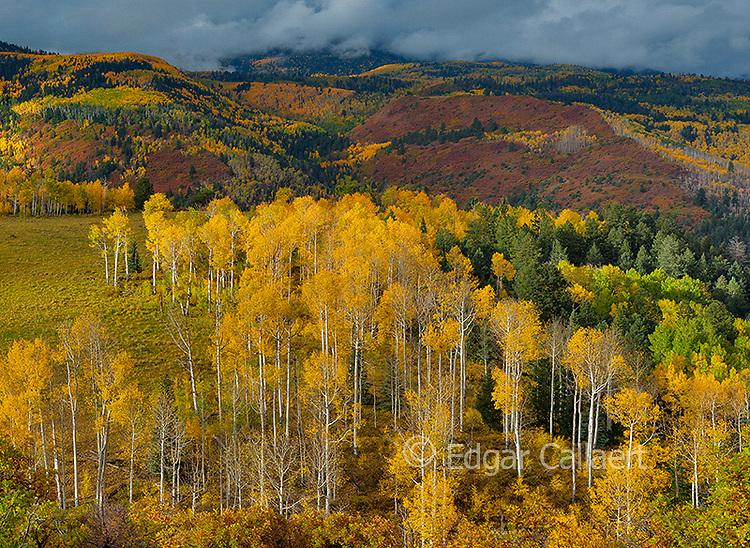 Aspen, Populus Tremula, Oak, Quercus Gambelii, Dallas Divide,  Dallas Divide, Uncompahgre National Forest, Colorado