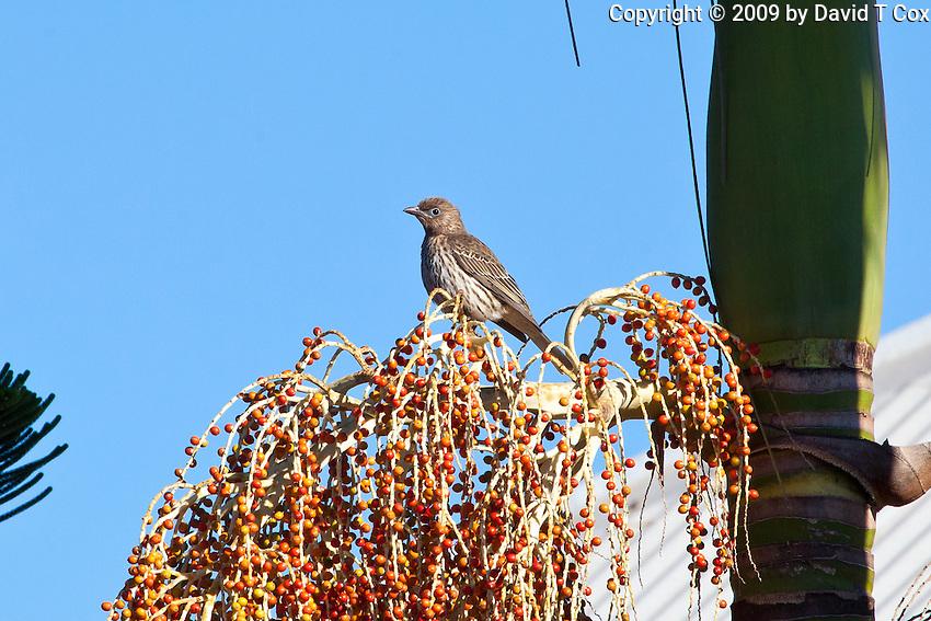 Australasian Figbird female, Miriamvale, Queensland, Australia