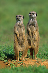 Meerkats, Suricatta suricata, Addo Elephant national park, South Africa