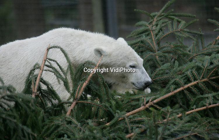Foto: VidiPhoto..RHENEN - Een late Kerst voor de ijsberen van Ouwehands Dierenpark in Rhenen. De dieren kregen woensdag een enorme kerstboom om zich mee te vermaken. En dat gebeurde dan ook volop. De spar diende tot voor kort als kerstboom in het park. Als er weinig meer van over is, wordt de boom weggehaald.