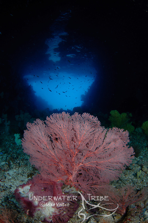 A gorgonian seafan in front of a blue hole, Subergorgonia sp., Raja Ampat, West Papua, Indonesia, Pacific Ocean