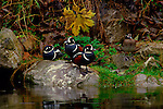 Harlequin ducks perch on a rock near a stream on Vancouver Island.