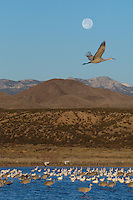 A Sandhill Crane and a Full Moon over Bosque del Apache