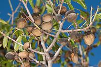 Mandelbaum, Mandel-Baum, Mandel, reife Frucht, Früchte am Baum, Prunus dulcis, Amygdalus dulcis, Amygdalus communis, Prunus amygdalus, Amygdalus amara, Amygdalus sativa, Almond, Amandier
