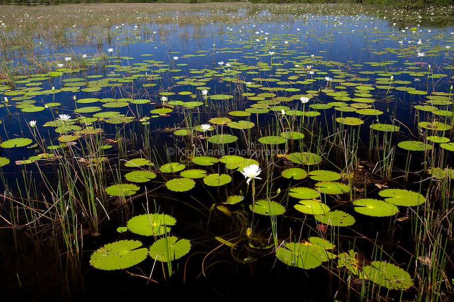 Lily pads line a mangrove in Belize.