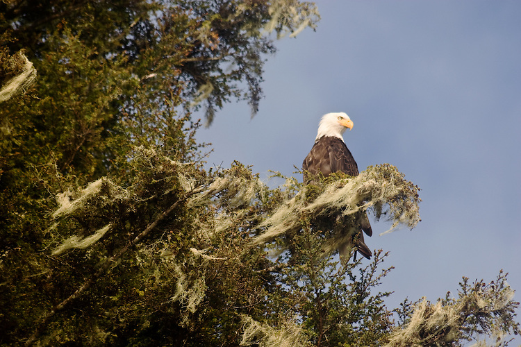 Alaska, Bald eagle, Haliaeetus leucocephalus, Prince William Sound,