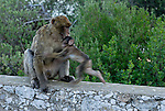 Baby Barbary Macaque running into arms of adult.