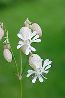 BLADDER CAMPION Silene vulgaris (Caryophyllaceae) Height to 80cm. Upright perennial of dry grassland on well-drained soil; often on chalk. FLOWERS are white, drooping and 16-18mm across (Jun-Aug); petals are deeply divided and calyx is swollen to form a purple-veined bladder. FRUITS are capsules. LEAVES are grey-green and oval; in opposite pairs. STATUS-Widespread but common only in S.