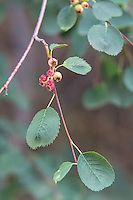 """Also known as the saskatoon, the western serviceberry is another very important plant found in the American West. The beautiful white flowers give way to the red to dark purple or black berries that are much sought-after in winter by moose, elk, deer, and birds. Historically, they were highly regarded by native American tribes and called """"sweet-berries."""" This was photographed in Central Washington's Cowiche Canyon where they grow in great profusion along Cowiche Creek."""